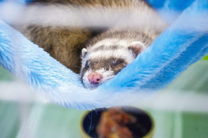 Ferret Enthusiasts Take Over Iconic Online Store