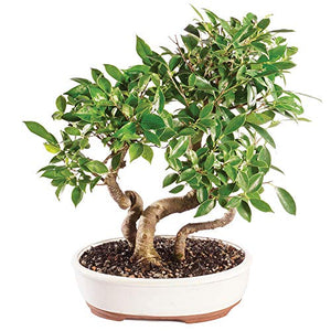 "Brussel's Bonsai Live Golden Gate Ficus Grove Indoor Bonsai Tree - 10"" to 14"" Tall - Lucia Gardens"