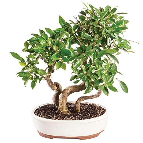 Brussel's Bonsai Live Golden Gate Ficus Grove Indoor Bonsai Tree - 10