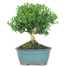 "Load image into Gallery viewer, Brussel's Bonsai Live Dwarf Hinoki Cypress 'Sekka' Outdoor Bonsai Tree - 6"" to 10"" Tall - Lucia Gardens"