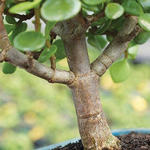 "Load image into Gallery viewer, Live Dwarf Jade Indoor Bonsai Tree 6"" to 8"" Tall - Lucia Gardens"