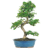 Brussel's Live Chinese Elm Outdoor Bonsai Tree - 8