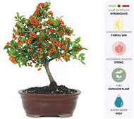 Brussel's Live Dwarf Pyracantha Outdoor Bonsai Tree - 8