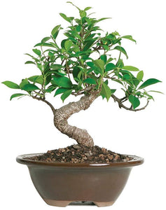 "Brussel's Bonsai Live Golden Gate Ficus Indoor Bonsai Tree - 5"" to 8"" Tall - Lucia Gardens"