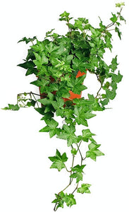 "English Ivy Baltic Trailing Vine Live Plant, 6"" Pot, Indoor/Outdoor Air Purifier - Lucia Gardens"