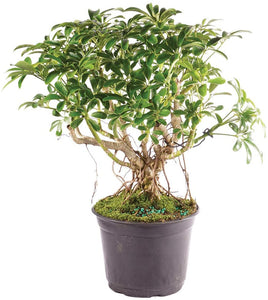 "Bonsai Live Hawaiian Umbrella Indoor Bonsai Tree - 8"" to 12"" Tall - Lucia Gardens"