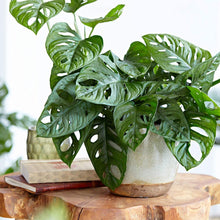"Load image into Gallery viewer, Monstera Adansonii Swiss Cheese Live Plant, 6"" Pot, Indoor Air Purifier - Lucia Gardens"