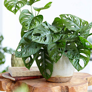 "Monstera Adansonii Swiss Cheese Live Plant, 6"" Pot, Indoor Air Purifier - Lucia Gardens"