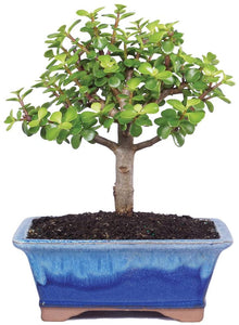 "Live Dwarf Jade Indoor Bonsai Tree 6"" to 8"" Tall - Lucia Gardens"
