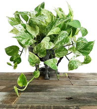 "Load image into Gallery viewer, Marble Queen Pothos Indoor/Outdoor Air Purifier Live Plant, 6"" Pot - Lucia Gardens"