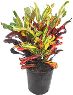 Mammy Croton Live Plant, 3 Gallon, Indoor/Outdoor Air Purifier - Lucia Gardens