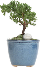 "Load image into Gallery viewer, Mini Bonsai Ficus Juniper Live Indoor Tree 10"" to 12"" Tall - Lucia Gardens"