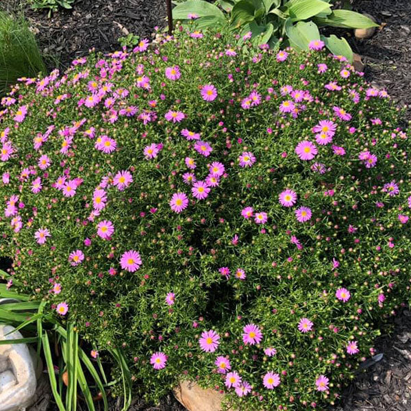 Extra large purple aster