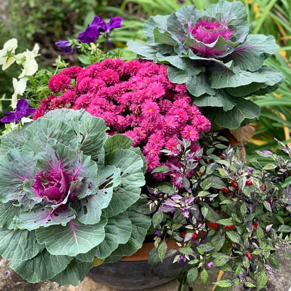 planter of colorful purple cabbage, large purple mum, masquerade peppers, and purple pansies