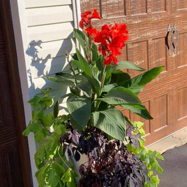 large planter with sweet potato vines and red canna lilly
