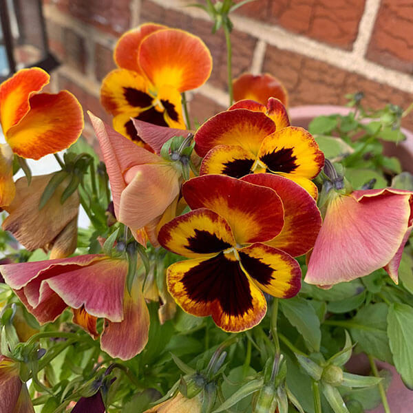 Brilliant red, yellow, and black pansies