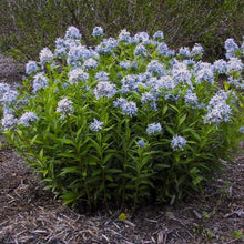 Load image into Gallery viewer, Amsonia Tabernaemontana 'Grande'