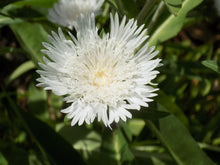 Load image into Gallery viewer, Stokesia 'Divinity'