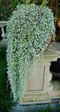 Load image into Gallery viewer, Dichondra 'Silver Falls'