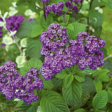 Load image into Gallery viewer, Heliotrope 'Fragrant Delight'