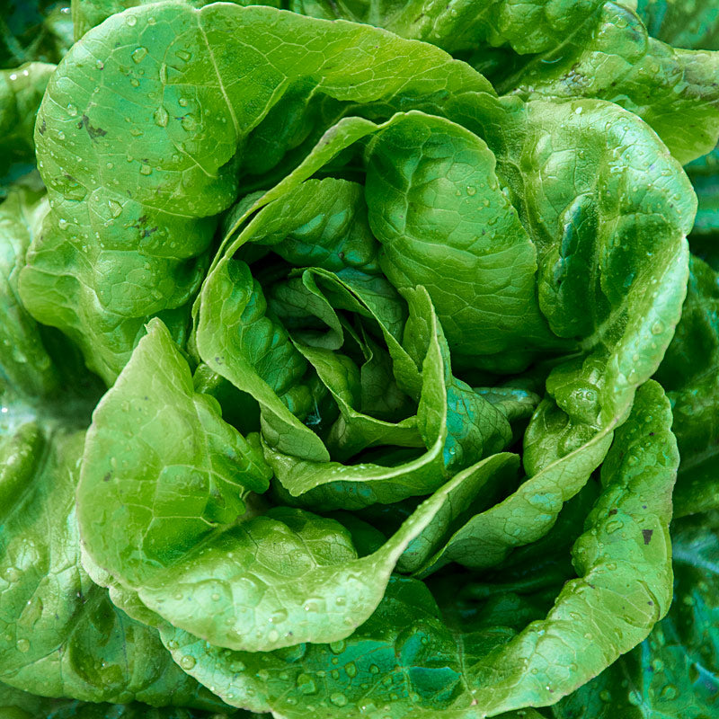 Lettuce 'Buttercrunch' - 6 pack