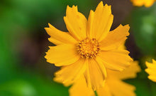 Load image into Gallery viewer, Coreopsis 'Nana'