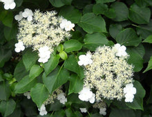 Load image into Gallery viewer, Hydrangea 'Petiolaris'