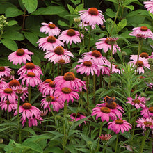 Load image into Gallery viewer, Echinacea purpurea