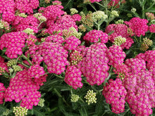 Load image into Gallery viewer, Achillea 'New Vintage Rose'