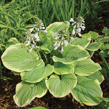 Load image into Gallery viewer, Hosta 'Fragrant Bouquet'
