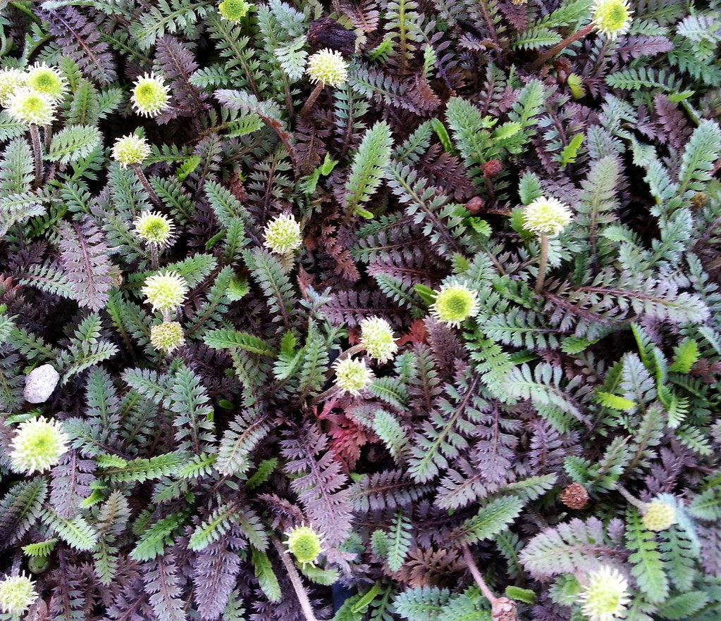 Leptinella 'Platts Black'