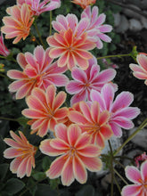 Load image into Gallery viewer, Lewisia 'Sunset Strain'