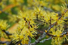 Load image into Gallery viewer, American Witch Hazel