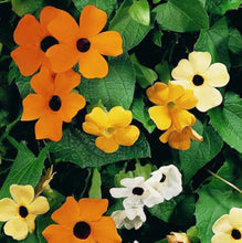 Load image into Gallery viewer, Thunbergia 'Susie Mix'