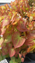 Load and play video in Gallery viewer, Epimedium 'Rubrum'