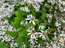 Load image into Gallery viewer, Aster divaricatus
