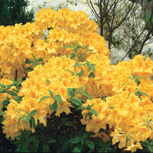 Load image into Gallery viewer, Azalea 'Golden Lights'