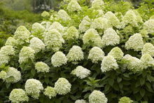 Load image into Gallery viewer, Hydrangea 'Limelight'