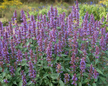 Load image into Gallery viewer, Agastache 'Purple Haze'