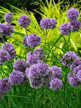 Load image into Gallery viewer, Allium 'Medusa'