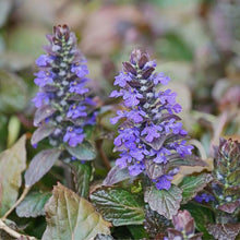 Load image into Gallery viewer, Ajuga 'Chocolate Chip'
