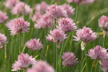 Load image into Gallery viewer, Allium 'Forescate'
