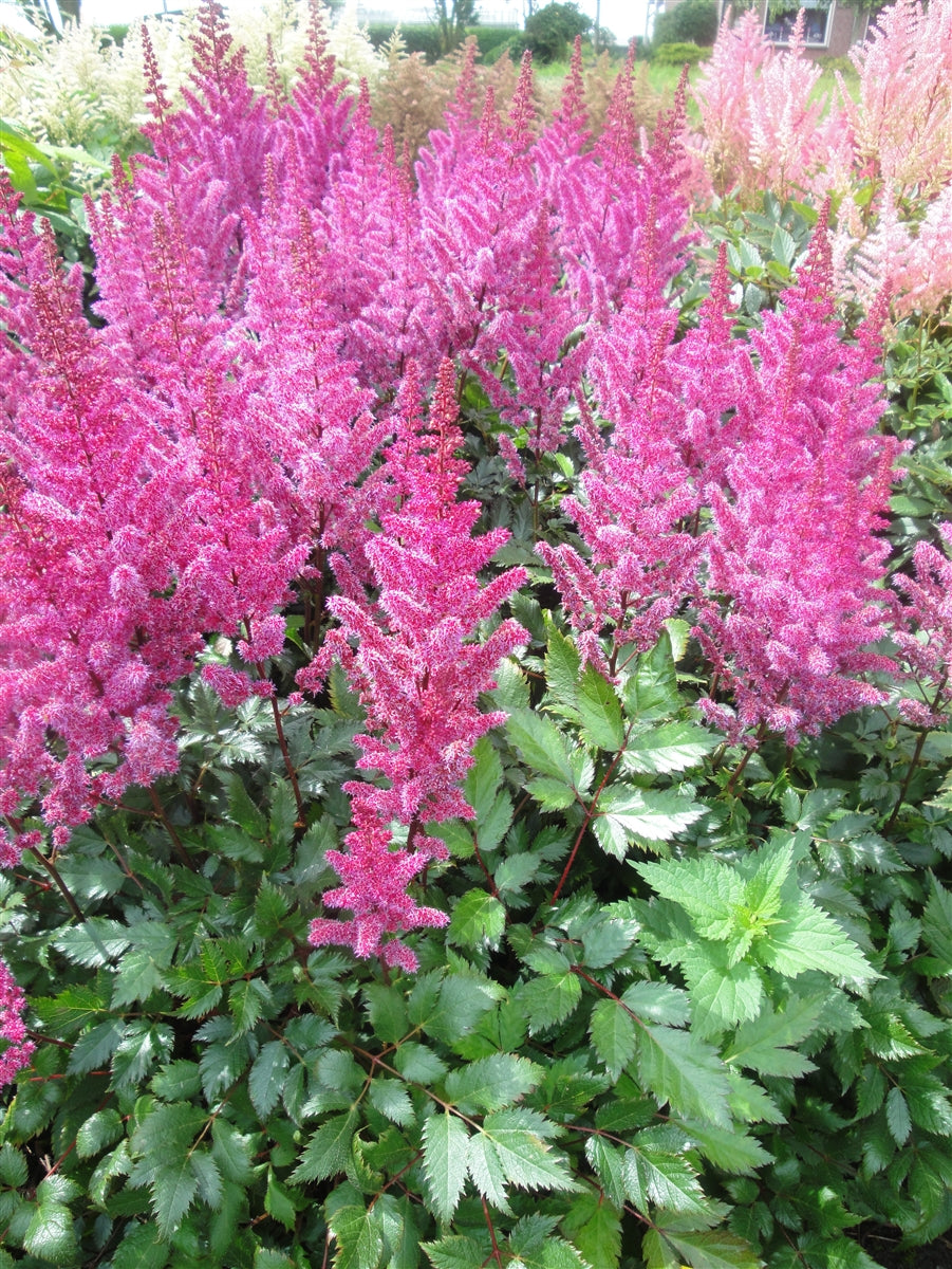 Astilbe 'Maggie Daley'
