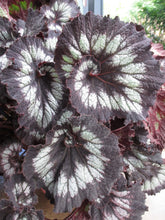 Load image into Gallery viewer, Begonia 'Jurassic Silver Swirl'