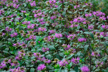 Load image into Gallery viewer, Monarda 'Blue Stocking'