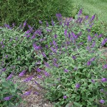 Load image into Gallery viewer, Buddleia Lo & Behold® 'Blue Chip Jr.'