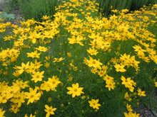 Load image into Gallery viewer, Coreopsis 'Verticillata'