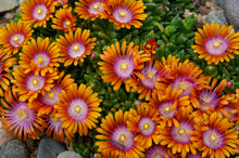 Load image into Gallery viewer, Delosperma 'Fire Spinner'