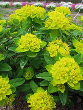 Load image into Gallery viewer, Euphorbia polychroma