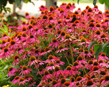 Load image into Gallery viewer, Echinacea 'Pow Wow Wild Berry'